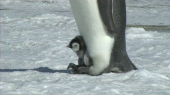 Emperor penguin with chick Stock Footage