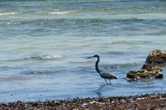 Heron plays in Key West gulf coastal waters - stock footage