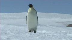 Emperor penguin walking Stock Footage