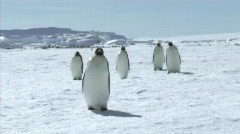 Emperor penguins walking - stock footage