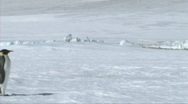 Emperor penguin walking Stock Footage