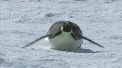 Emperor penguin sliding on its belly Stock Footage