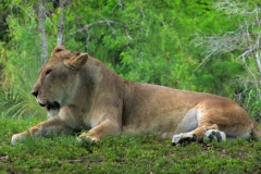 Lion relaxes in grass by underbrush Stock Footage