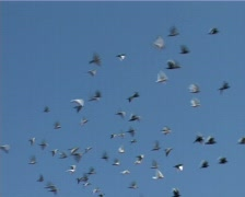 Pigeons - stock footage