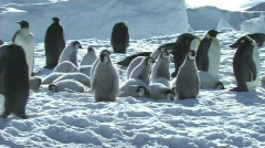 Emperor penguin chicks waiting - stock footage