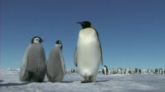 Stock Video Footage of Emperor penguin chicks