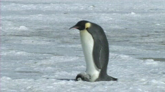 Emperor penguin with chick - stock footage