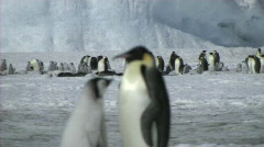 Emperor penguin chick asking for food Stock Footage