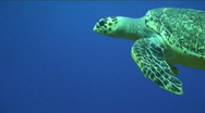 Santa Rosa Sea Turtle Stock Footage