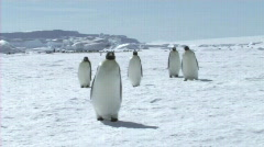 Emperor penguins walking Stock Footage