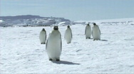 Stock Video Footage of Emperor penguins walking
