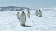 Emperor penguins walking Stock Footage