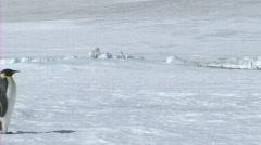 Emperor penguin walking - stock footage