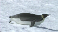 Emperor penguin sliding on its belly - stock footage