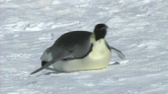 Stock Video Footage of Emperor penguin sliding on its belly
