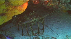 Spiny Lobster On Ocean Floor Stock Footage