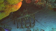 Stock Video Footage of Spiny Lobster On Ocean Floor