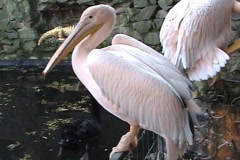 Pink pelican during rest Stock Footage