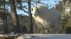 P00884 Mountain Goat in Black Hills Stock Footage
