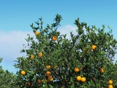 Oranges ready to pick on a citrus tree in Florida Stock Footage