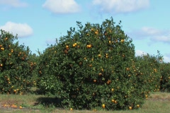 Oranges on trees in a FLorida orange grove Stock Footage