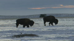 P00885 Bison on Prairie in Winter Stock Footage