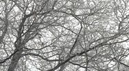 Stock Video Footage of Winter in oak tree woods