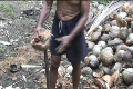Coconut Harvest in Filipino Jungle Footage