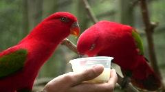 Värikäs RED TROOPPINEN papukaijat Luonto Arat Wildlife Linnut Arkistovideo
