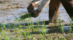Young rice seedlings been planted by a farmer - stock footage