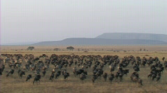 Migration of wildebeest Stock Footage