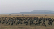 Stock Video Footage of Migration of wildebeest