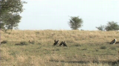 Vultures on a lion kill Stock Footage