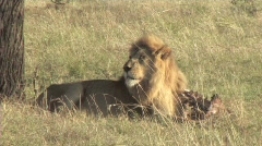 Lion with a kill - stock footage