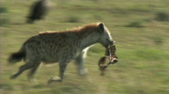 Hyena with a kill - stock footage