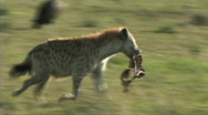 Stock Video Footage of Hyena with a kill