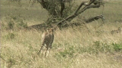 Cheetah walking - stock footage