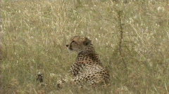 Cheetah resting Stock Footage