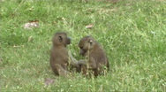 Stock Video Footage of Baboons feeding