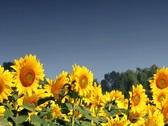 Field of Sunflowers in summer breeze Stock Footage