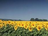 Field of sunflowers in summer breeze against blue sky Stock Footage