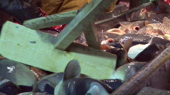 Freshwater fish,carp sorting Stock Footage