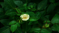 HD1080p White Rose flowering (Time Lapse) Stock Footage