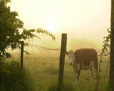 Hereford cow grazing early morning Stock Footage