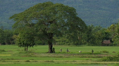 Laos: Rice field Stock Footage