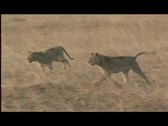 Lions - 2 young run to meet mamma Stock Footage