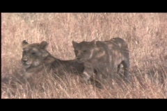 Lions - big cub comes too close to car Stock Footage