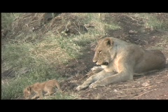 lions - lionness w:tiny cub tight - stock footage
