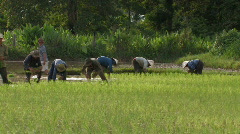 Laos: ethnic monority day laborer working on the rice field - stock footage