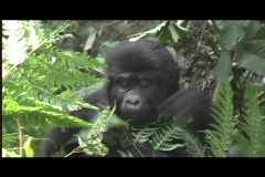 gorillas - baby beats chest - stock footage